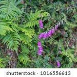 foxglove flower and ferns.   Shutterstock . vector #1016556613