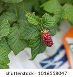 large raspberry growing.   Shutterstock . vector #1016558047