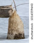 Small photo of Beaver Handy Work. Iroquois National Wildlife Refuge, Shelby, New York, USA, February 3rd, 2018