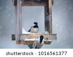 Two Black Capped Chickadees...