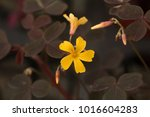 Black Leaf Oxalis With Yellow...