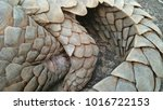 indian pangolin or anteater... | Shutterstock . vector #1016722153