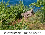 Small photo of A Great Black-backed Gull chick stands still by its nest on a clifftop near Port Isaac in Cornwall.