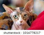 sphynx cat close up portrait... | Shutterstock . vector #1016778217