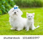 Stock photo white maltese puppy and chinchilla cat sitting together on green grass 1016803597