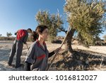 woman collecting olives for... | Shutterstock . vector #1016812027