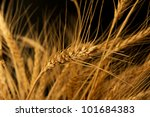 yellow wheat on a black... | Shutterstock . vector #101684383