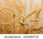 wheat as the background | Shutterstock . vector #101684713
