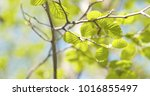Small photo of alder leaves in spring morning closeup