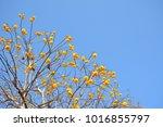 Yellow Silk Cotton Tree ...