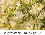 tree with white flowers in the... | Shutterstock . vector #1016912137