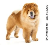 Chines chow chow dog isolated on a white background - stock photo