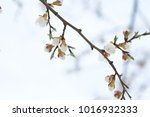 tender apricot blossom buds and ... | Shutterstock . vector #1016932333