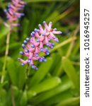 Small photo of Flower of Aechmea gamosepala in the garden