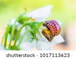 colorado potato beetle larva...   Shutterstock . vector #1017113623