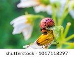 colorado potato beetle larva...   Shutterstock . vector #1017118297