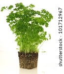 Parsley Plant Without Flowerpo...