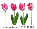 spring flowers tulips isolated... | Shutterstock . vector #1017145183