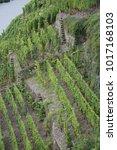 vineyard at winningen  moselle | Shutterstock . vector #1017168103