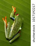 Small photo of Wildlife photo of the Red-eyed Tree Frog (Agalychnis callidryas) Arenal, Costa Rica