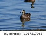 Small photo of An American Wigeon Duck on the water.