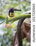 the collared aracari or... | Shutterstock . vector #1017220063