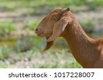 Brown Goat In Field  Free....
