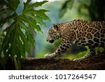 Jaguar  Panthera Onca   Belize