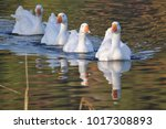 Four Swimming White Geese In A...