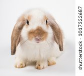 french lop rabbit brown ear... | Shutterstock . vector #1017322687