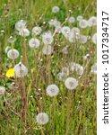spent dandelion flower and... | Shutterstock . vector #1017334717