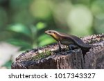 the scientific name is skink... | Shutterstock . vector #1017343327