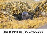 a curious otter  lutra lutra ... | Shutterstock . vector #1017402133