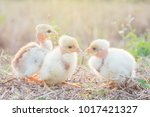 chicks with warm sunshine in... | Shutterstock . vector #1017421327