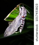 Cicada Insect On Leaf Tree Wit...