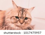 close up face of cat | Shutterstock . vector #1017475957