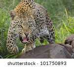 African Leopard (Panthera pardus) snarling and showing teeth in aggressive and defensive manner, South Africa - stock photo