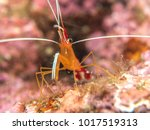 shrimp on the coral  philippines | Shutterstock . vector #1017519313