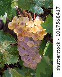 grapevine of riesling grape...   Shutterstock . vector #1017568417