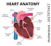 anatomy of the human heart  an... | Shutterstock .eps vector #1017571417