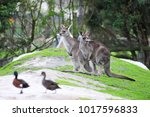 kangaroo at maru wildlife park  ... | Shutterstock . vector #1017596833