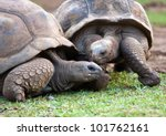 Big Seychelles turtle in La Vanille Reserve park. Mauritius. - stock photo