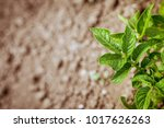 green potato plant. leaf of... | Shutterstock . vector #1017626263