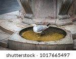 seagull standing in venetian...   Shutterstock . vector #1017665497