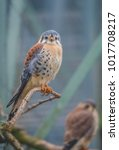 Small photo of American kestrel (Falco sparverius), also known as sparrow hawk, is smallest falcon in the Americas