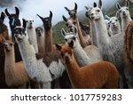 Alpaca Crowd Bolivia