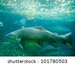 Freshwater Hybrid Fish Tiger...