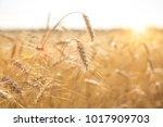 a field of wheat. ears of... | Shutterstock . vector #1017909703