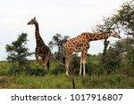 wild giraffes in africa uganda   Shutterstock . vector #1017916807