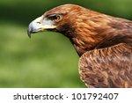 Strict Golden Eagle